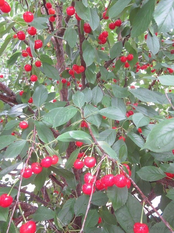 Pie Cherries And Their Uses Edible Landscaping Cherries Jubilee Cherry