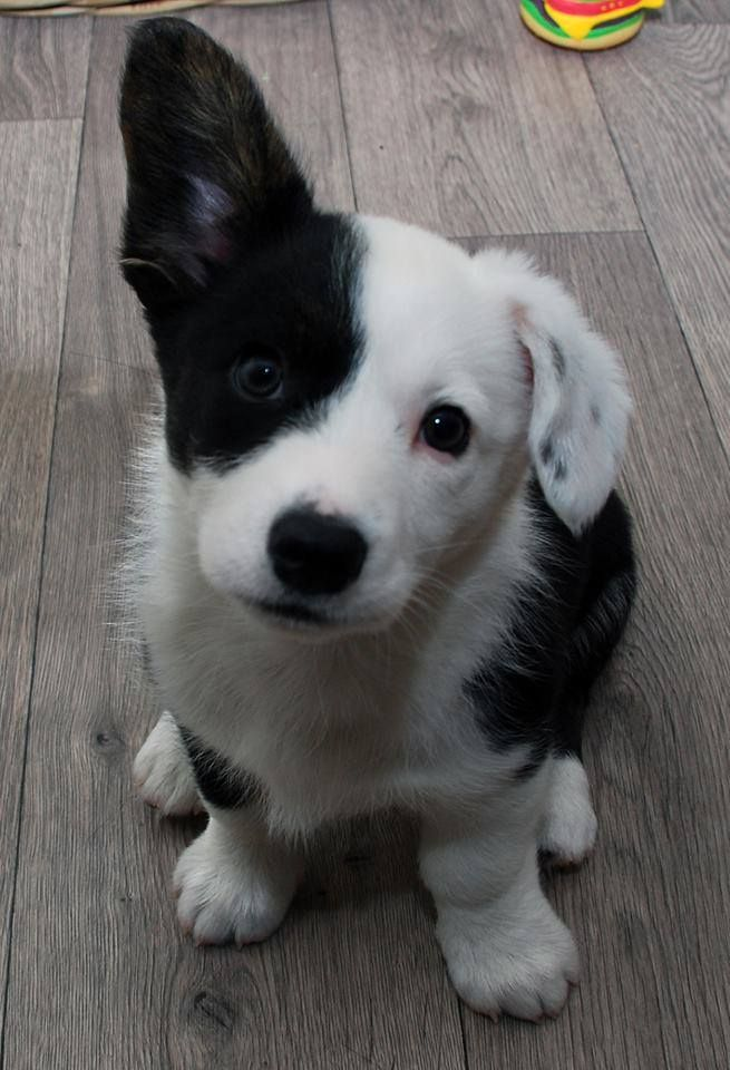 12 Reasons Why You Should Never Own Border Collies Cute Animals