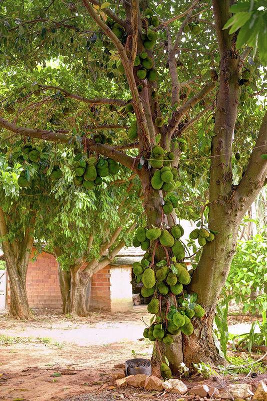 Jackfruit Tree Images Google Search Jackfruit Tree Jackfruit Tree