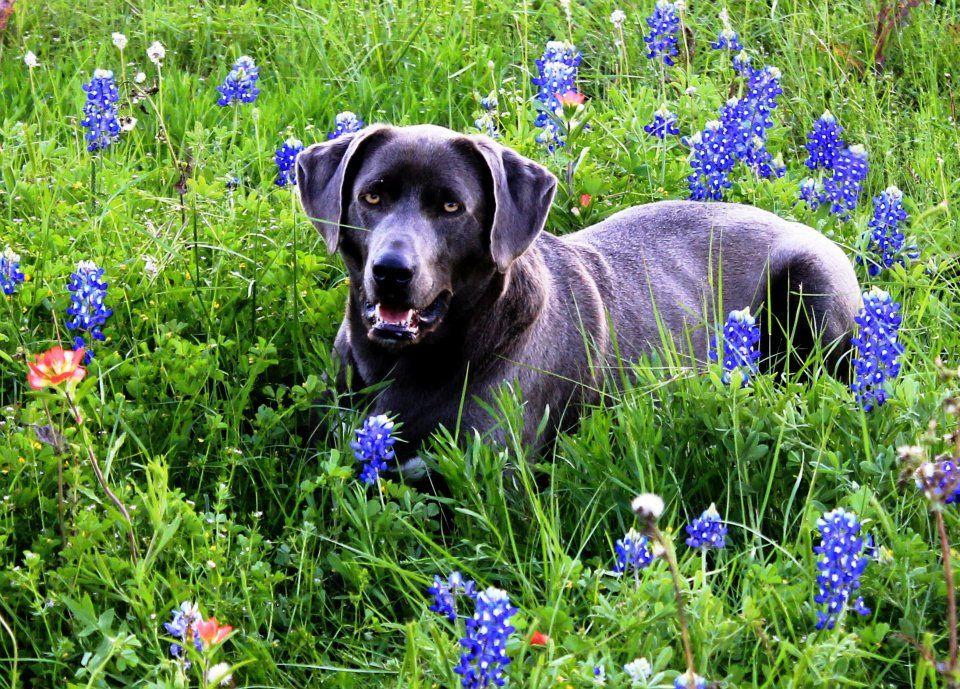 Lily 2012 Texas Blue Lacy dog Blue lacy