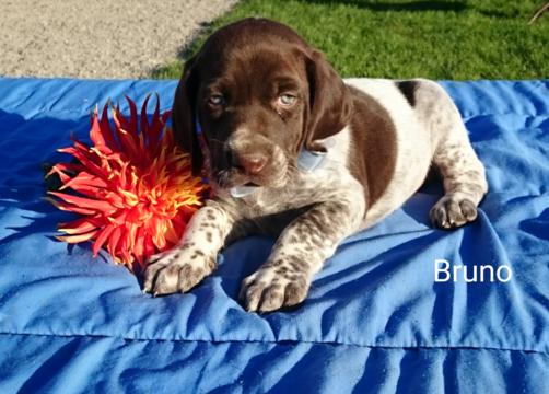 German Shorthaired Pointer Puppy For Sale In Sugarcreek Oh Adn 48286 On Puppyfinder Com Gender Male Age 6 Weeks O Pointer Puppies Puppies Puppies For Sale