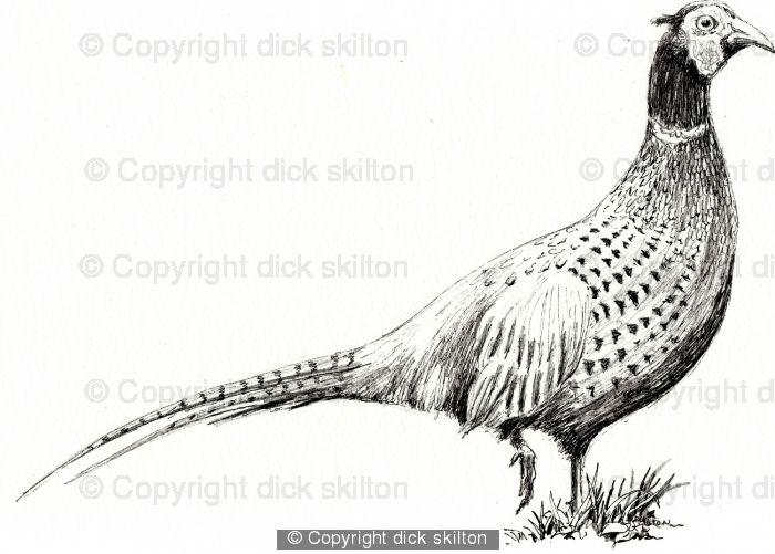Pheasant drawing as a ...