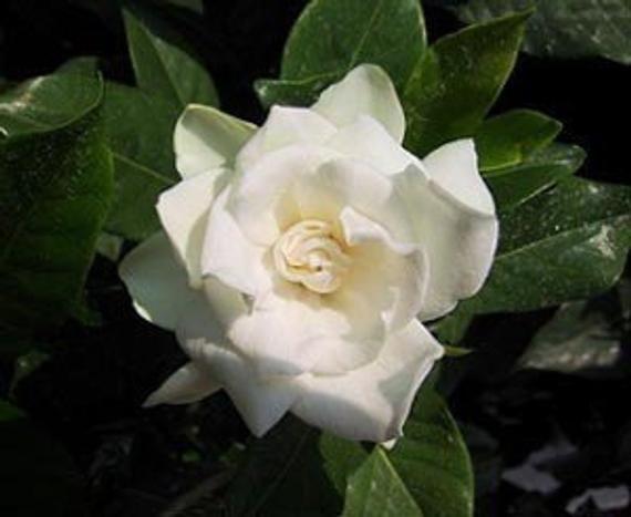 Gardenia Perfume Oil Fragrance Roll On Scent Fragrance Perfume