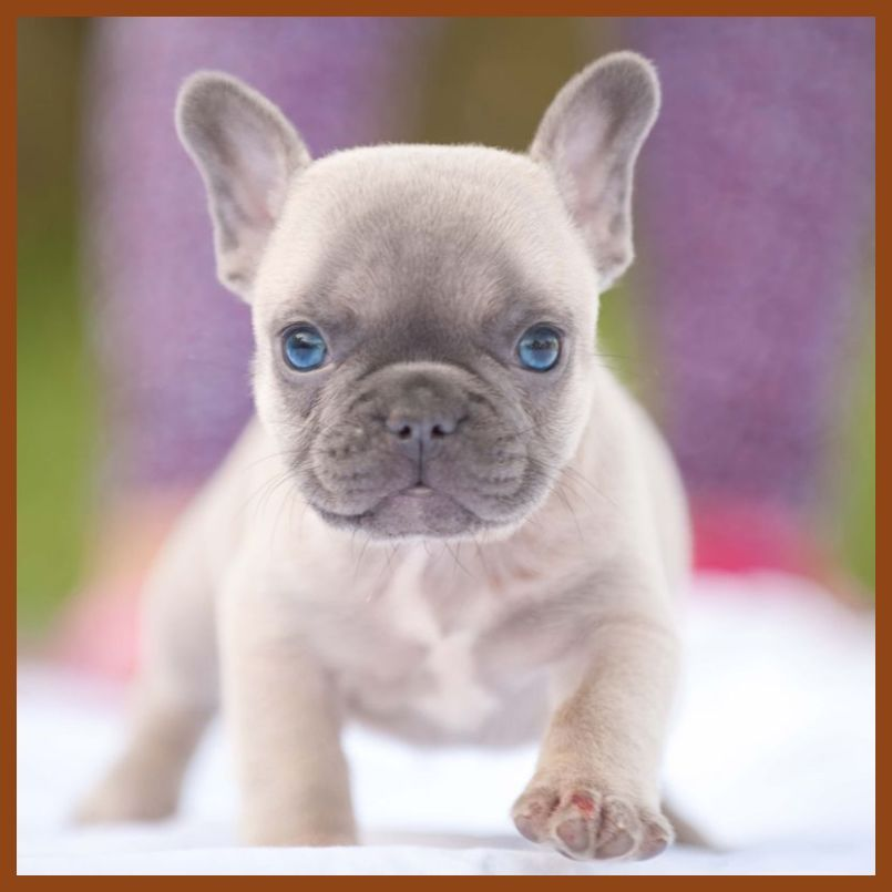 French Bulldog Clothes The Best Choosing Tips French Bulldog Puppies For Sale French Bull French Bulldog Puppies Bulldog Puppies Cute French Bulldog