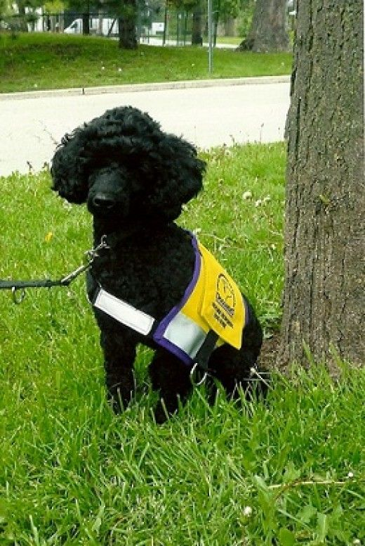 How An Epileptic Can Train A Seizure Alert Dog Service Dogs