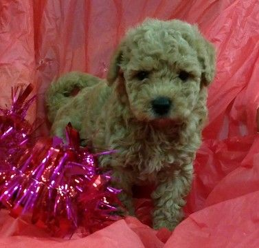 Litter Of 7 Golden Doodle Mix Puppies For Sale In Conowingo Md