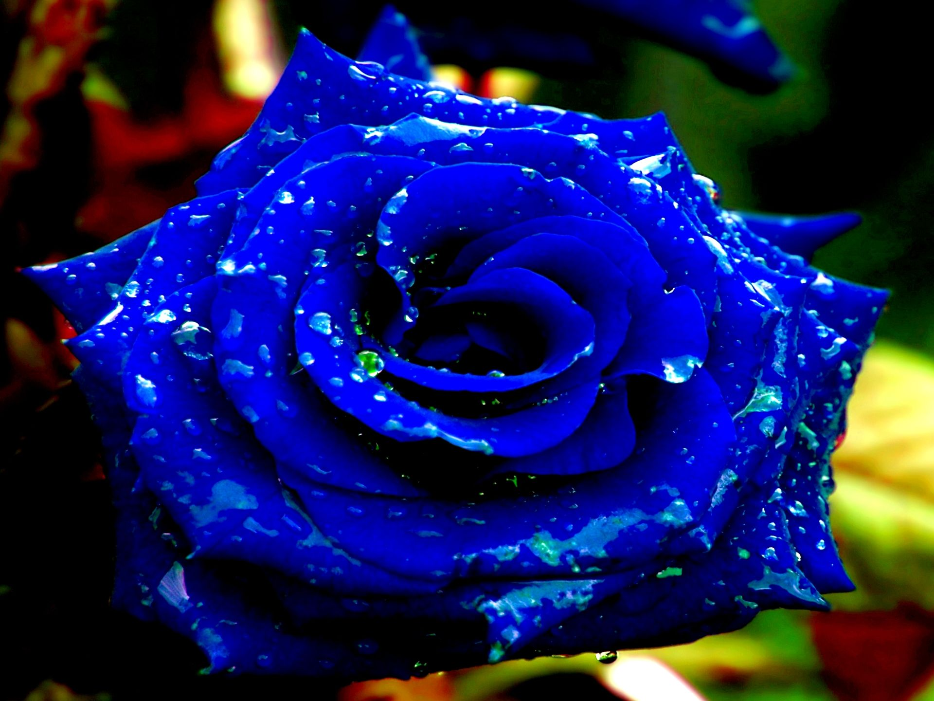 dazzling royal blue rose with water drops just gorgeous. Black Bedroom Furniture Sets. Home Design Ideas