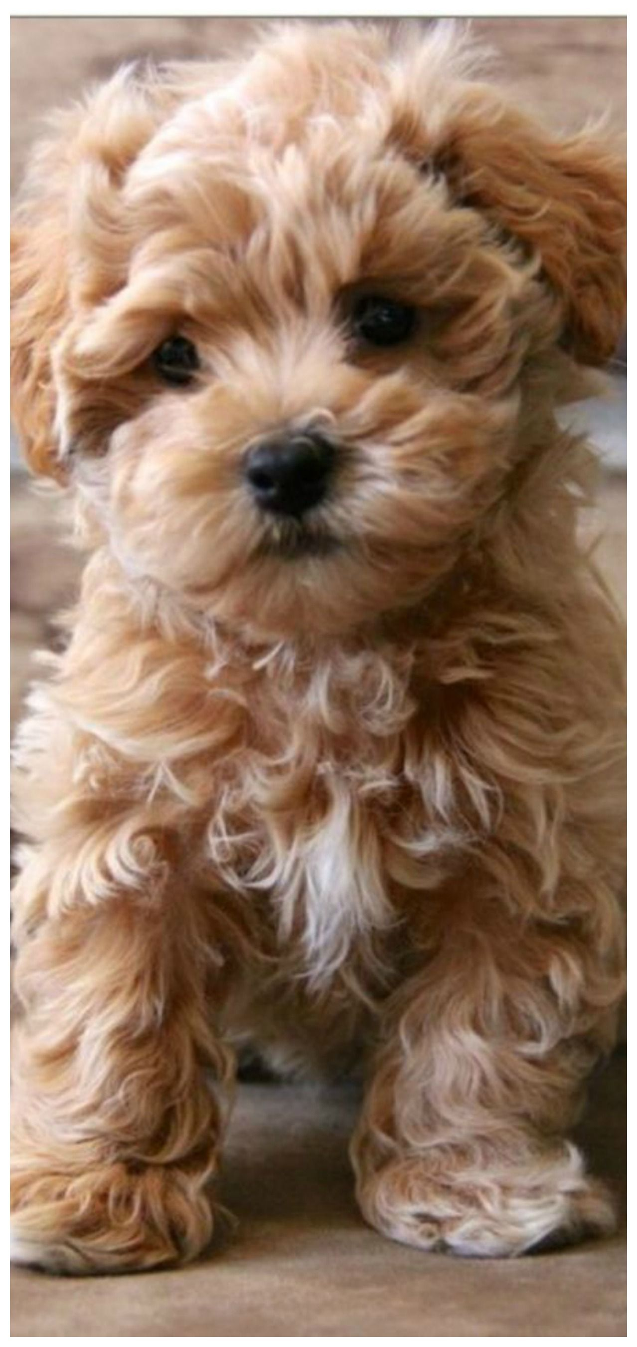 Pin By Tam S Boards On The Pet Store Bear Dog Breed Teddy
