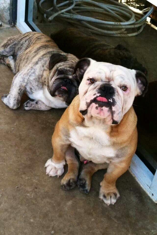 Captain Crunch Pete Flintstone English Bulldog Puppies Bulldog