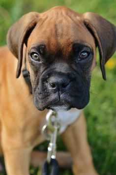 It S Looking Dangerous Boxer Dogs Boxer Puppies Baby Dogs