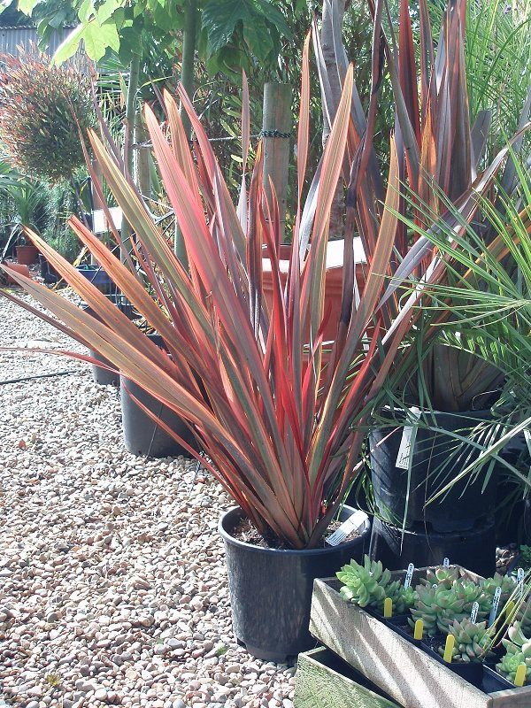 Buy Phormium Firebird For Sale And Mail Order Online Plants To Purchase New Zealand Flax Norwich Norfolk Plants Garden Design Planting Plan