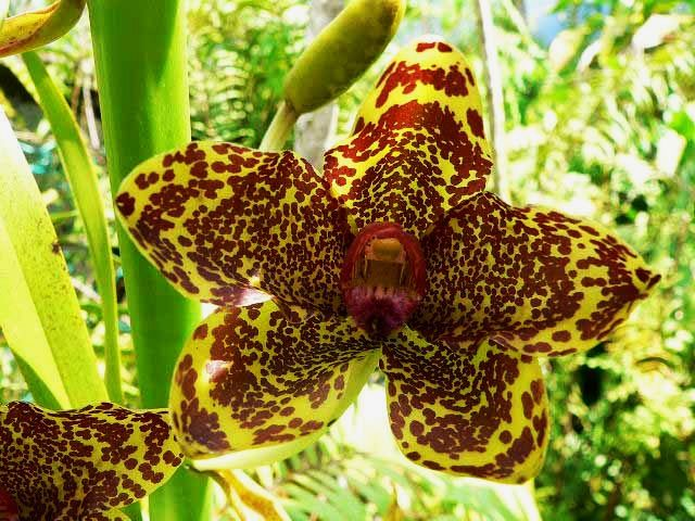 Recently Giant Orchid Grammatophyllum Speciousum Is Considered To Be The World S Largest Orchid While Even More Enormous One Wa Orchids Plants Rare Plants