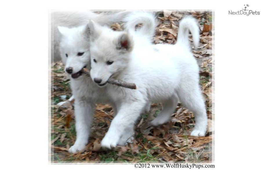 Wolf Hybrid Puppy For Sale Gorgeous White Hybrid Puppy In Nc