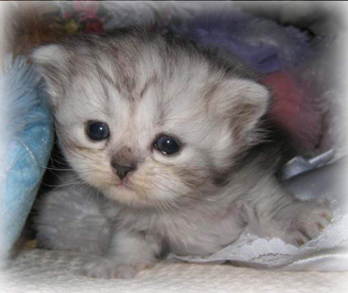 Sweet Tiny Baby Kitty 3 Teacup Kitten Kittens Cutest Kittens