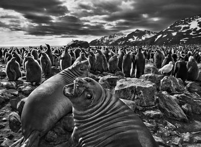 SOUTHERN ELEPHANT SEAL CALVES, SAINT ANDREWS BAY, SOUTH