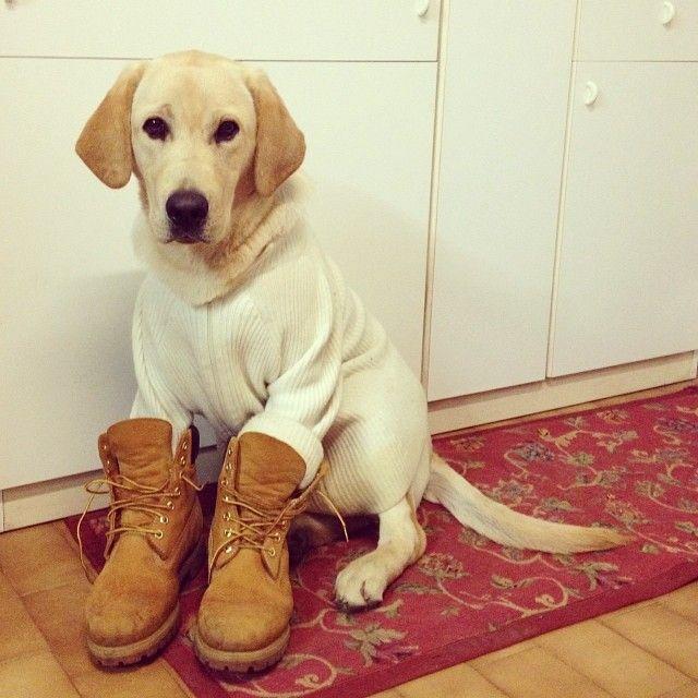 Even puppies need proper footwear. #justkidding #timberland