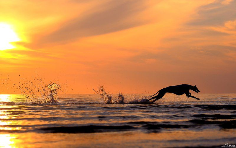 Greyhound running in sunset by laura75325 on DeviantART WOW