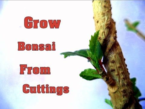 How to Grow Bonsai from Cutting In 3 weeks | Super Easy to Grow Hibiscus...