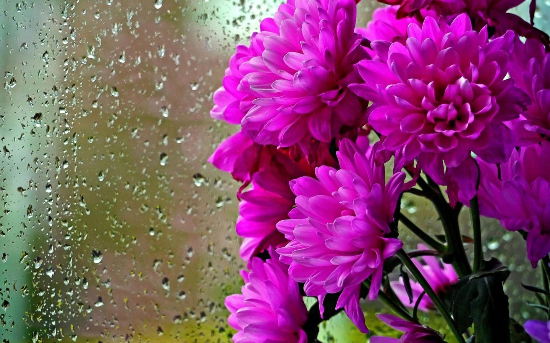 Картинки, анимационные картинки хризантемы