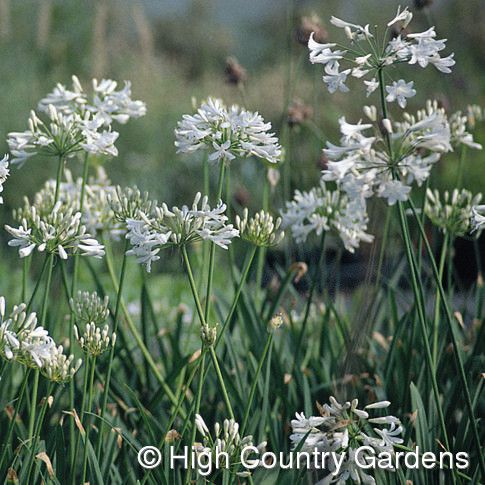 White Lily Of The Nile Agapanthus African Plants Agapanthus