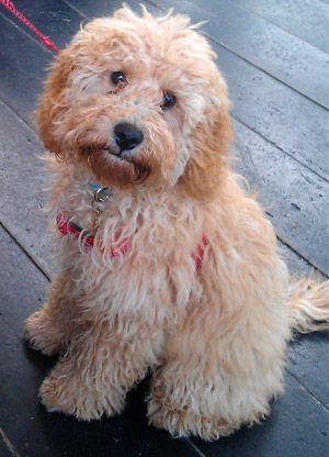 Miniature Poodle Full Grown