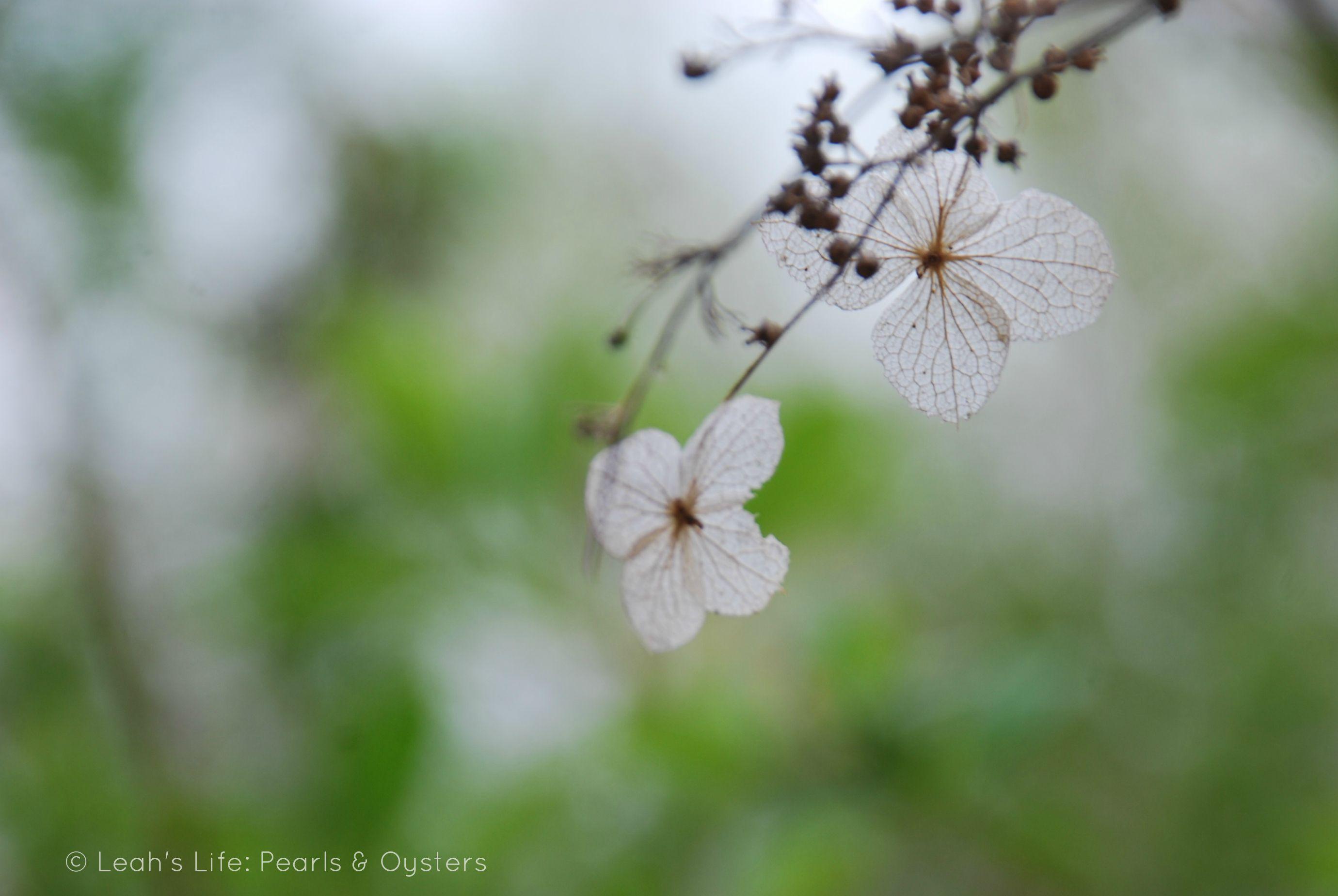 white skeleton flower 2760×1850 Diphylleia Grayi