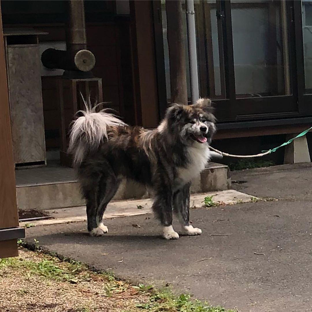 犬 虎毛 秋田