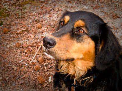 Golden Retriever Rottweiler Mix I Want One A Few Of My
