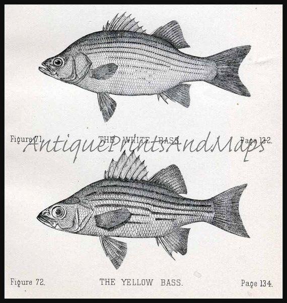 Its Fishing Season Fresh Water Fish Sauger White Bass Black Bass