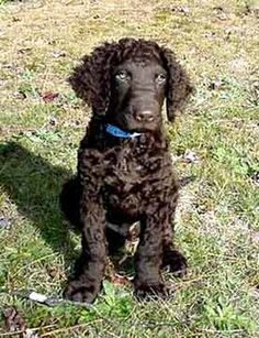 No Lost Dogs Curly Coated Retriever Man And Dog Dog Breeds