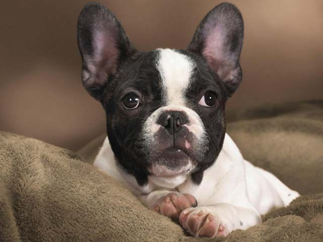 Massachusetts Bans Bsl Strengthens Animal Protection Laws French Bulldog Puppies White French Bulldog Puppies French Bulldog Breed