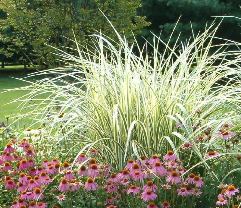 Variegated maiden grass plants in my garden pinterest for Variegated ornamental grass