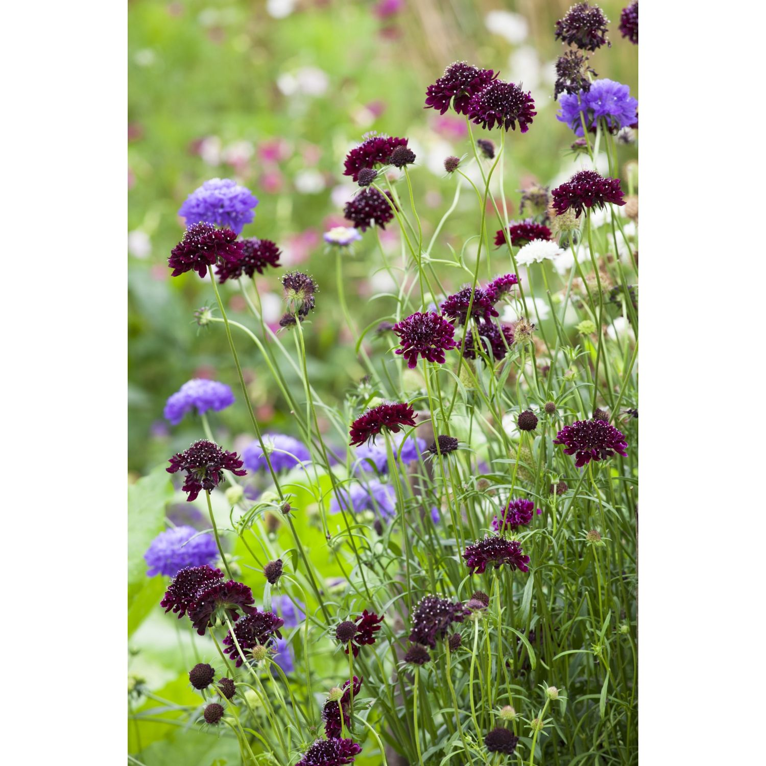 Scabiosa Atropurpurea Tall Double Mix Garden Pinterest Cut
