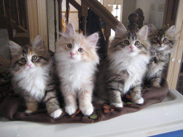 Kittens Siberian Kittens Kittens And Puppies Kitten Adoption