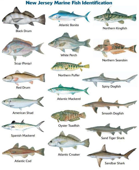 Nj marine species identification fishing pinterest for South carolina saltwater fishing regulations