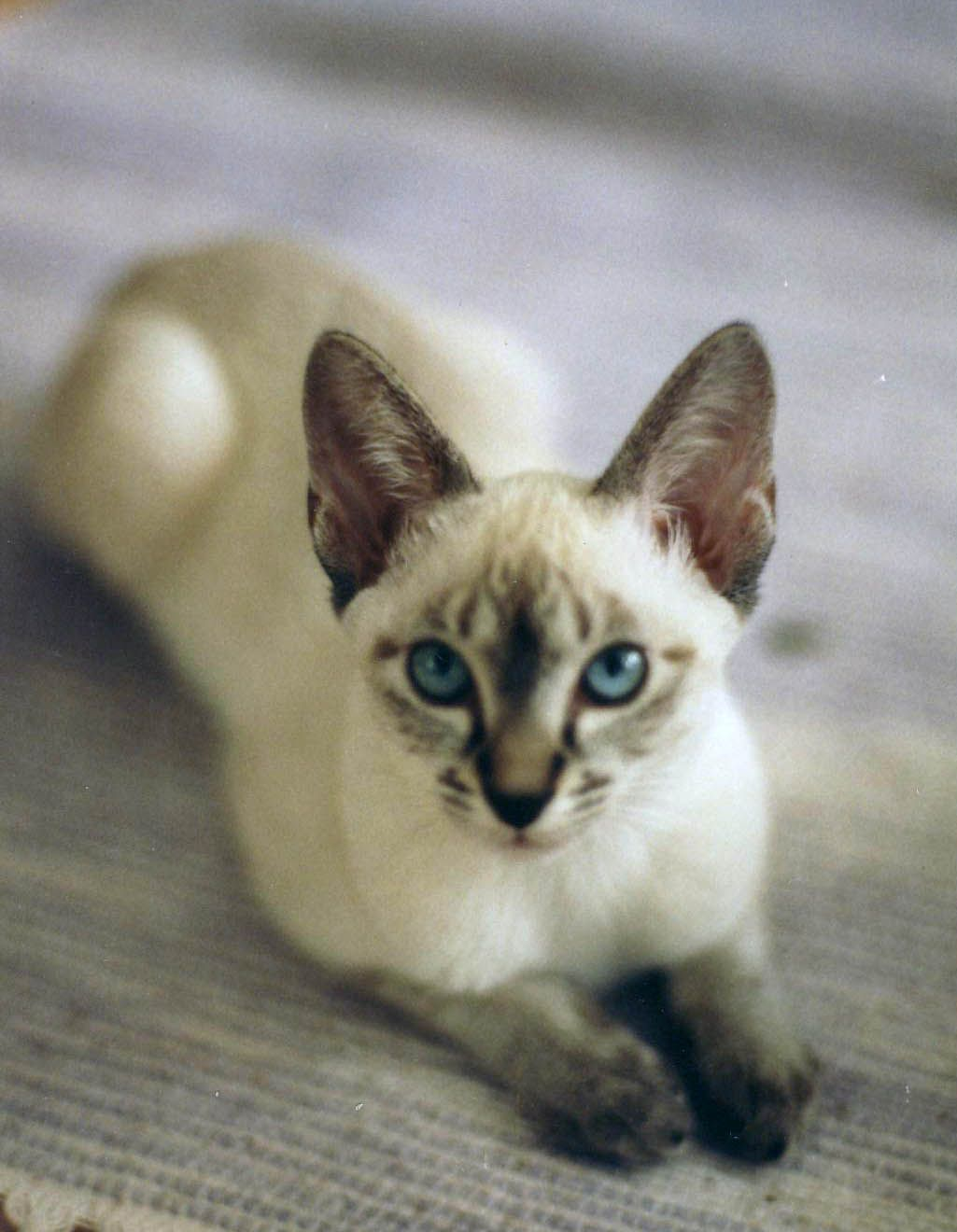 She's a treasure. Lynx point Siamese kitten. Beautiful cats