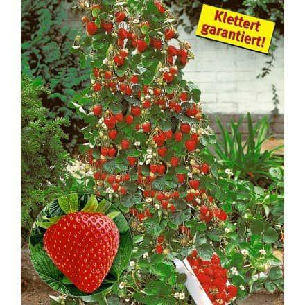 Tomaten-Reifehaube, 1 Stück - BALDUR-Garten GmbH gardening - gemusegarten anlegen pflanzplan