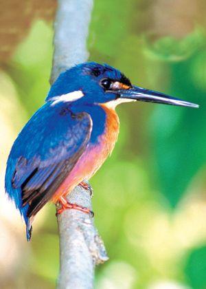 The Azure Kingfisher