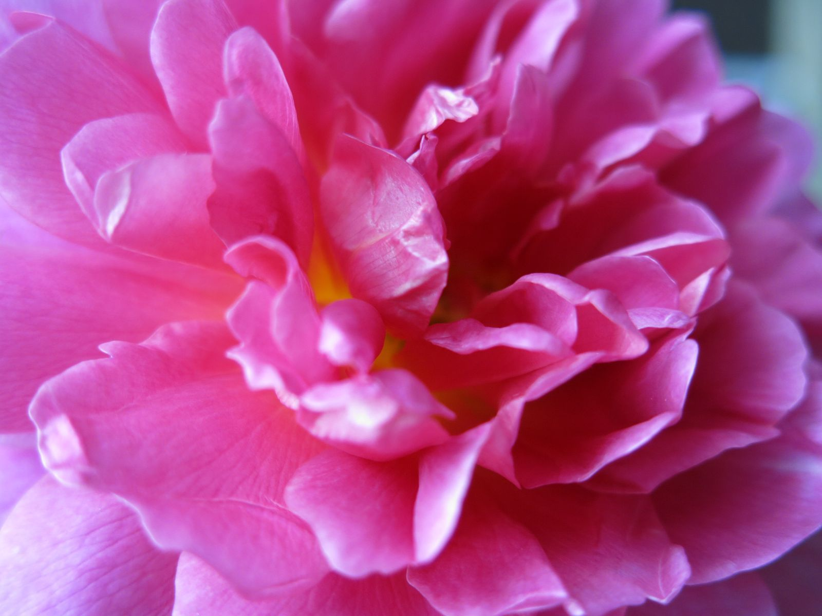10 Flowers Named After the Royal Family Flower