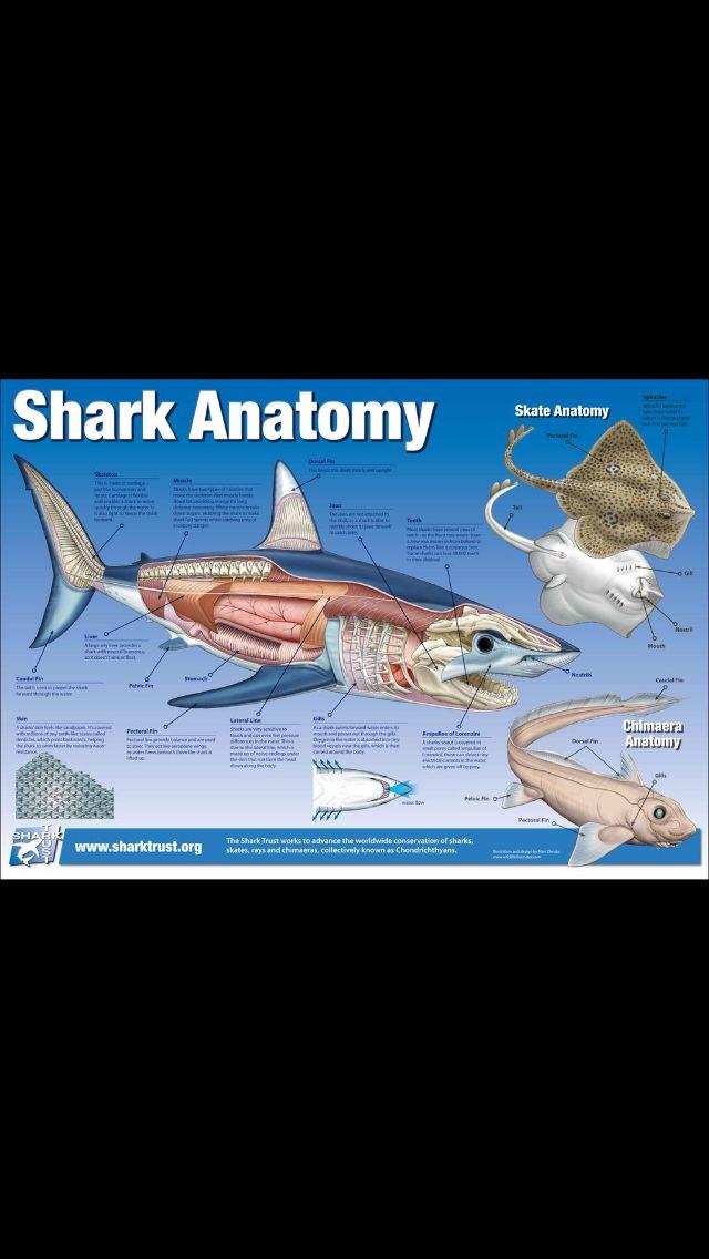 Shark anatomy marine biology veterinarian All About Animals - marine biologist job description