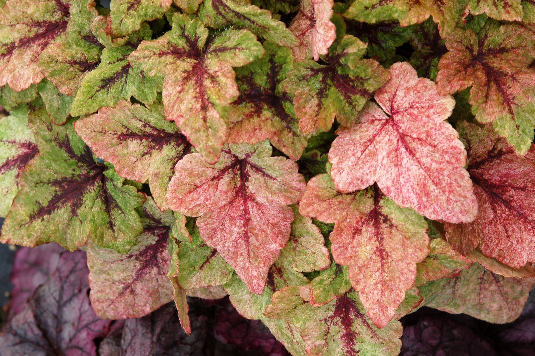 Tiarella cordifolia a way to garden - Foamflower Tiarella Is One Of The Best Plants For Northern Gardens With Shade