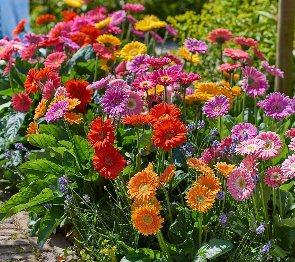 Ready To Produce Many Beautiful Blooms All Summer Long These Gerber Daisies Come In A Range Of Pink Flowers From Roberta S Gerber Daisies Flower Pots Plants