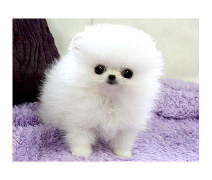 Awesome Pomeranian Boys And Girls Pupps Is A Male Pomeranian For