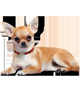 Pin On Chihuahua
