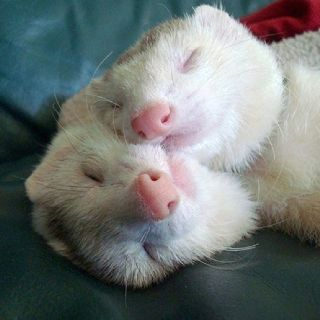 Pin By Red River Valley Fair Associat On Animals Cute Ferrets White Ferret Cute Animals
