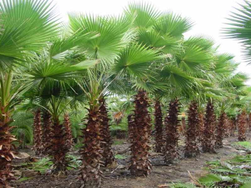 Mexican Fan Palm Tree 15 Seeds Easy to Grow Fast Growing