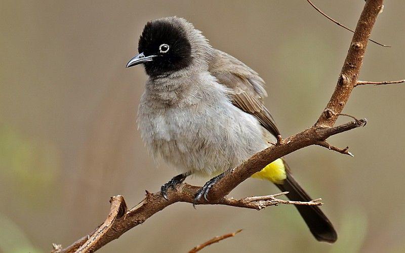 السلام عليكم ورحمة الله تعالى وبركاته طائر البلبل البلبل من الطيور التي أسرت الإنسان مند القديم يعتبر طائر البلبل Bulbul South African Birds Bird