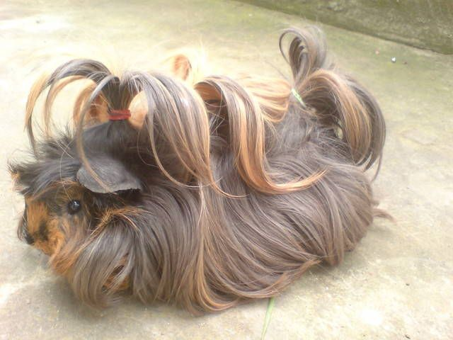 Pin On Rodents Guinea Pigs And Cavies
