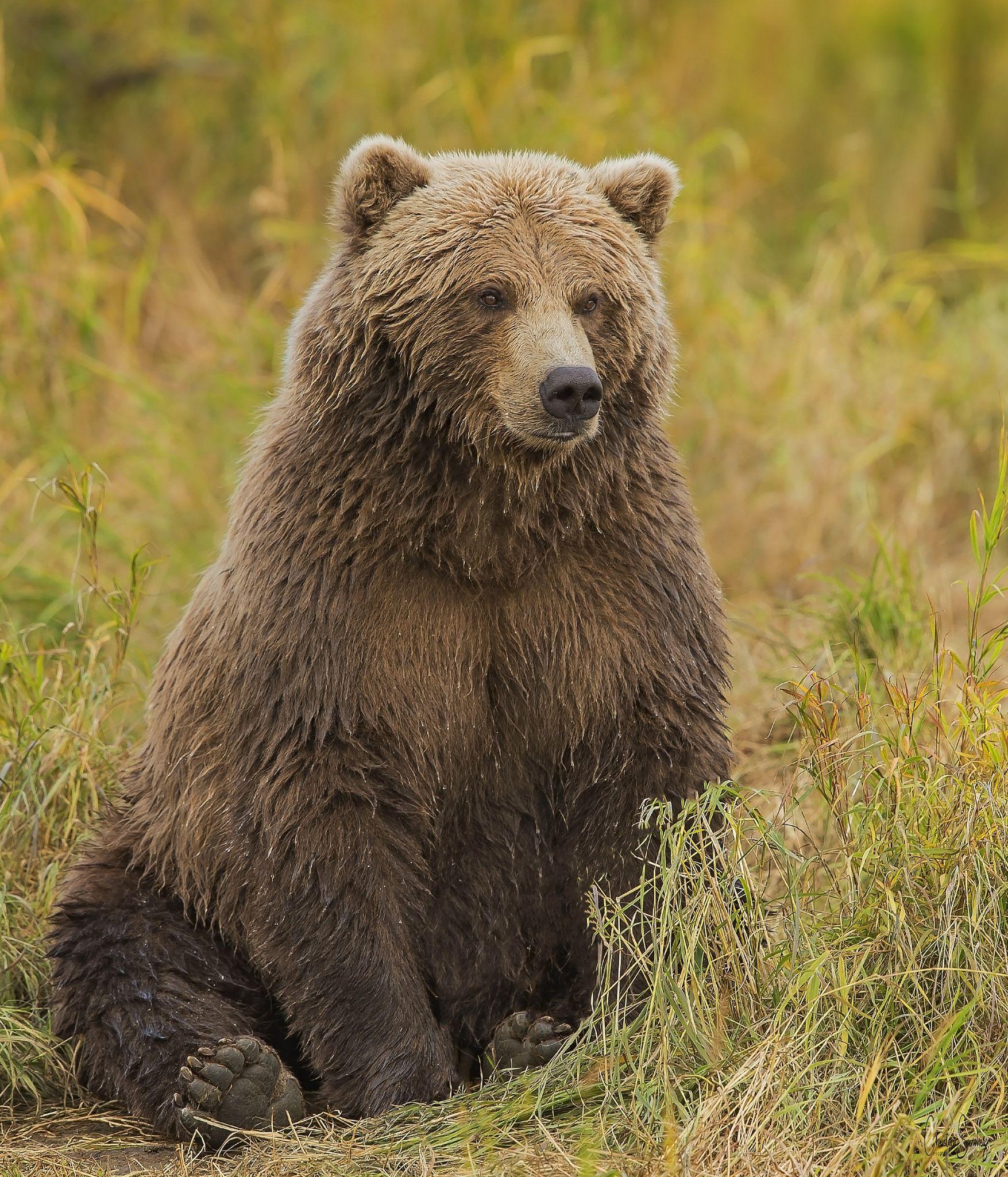 Grizzly Bear Grizzly Bear Bear Wild Animals Photos