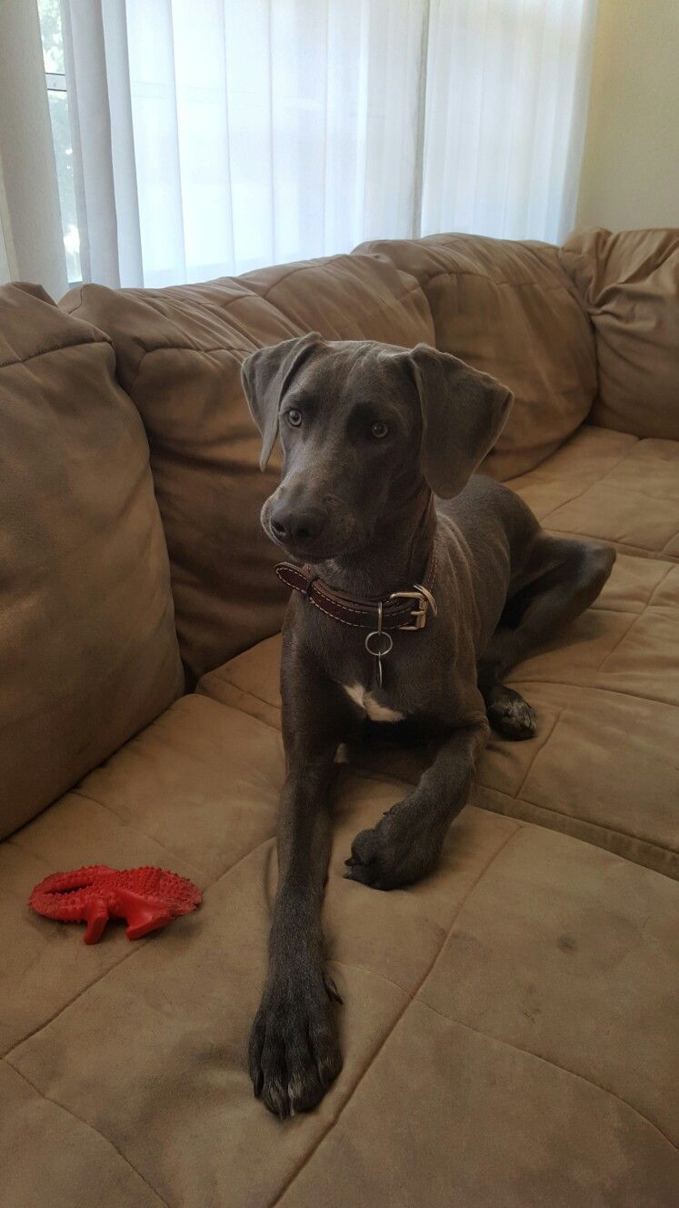 Blue Lacy Rue 7 Months Old Blue Lacy Blue Lacy Dog Herding Cattle